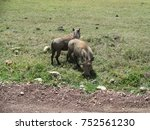 Small photo of A wild timone and pumba in the African country of Tanzania photographed on a Safari inside the Serengeti National park