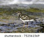 ruddy turnstone foraging on the ... | Shutterstock . vector #752561569