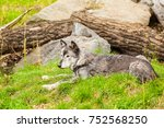 Small photo of grey wolve jasper national park canada