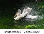 Dalmatian Pelican  Pelecanus...