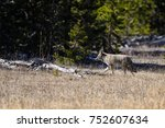 Coyote Walking On The Grass In...