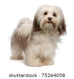 Stock photo portrait of a beautiful standing chocolate havanese dog isolated on a white background 75264058