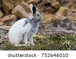 Stock photo arctic hare lepus arcticus changing from winter to summer coat on baffin island nunavut canada 752646010