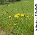 Small photo of Dandelion (Taraxacum officinalis) on the South West Coast Path between Lynton and Combe Martin in Rural Devon, England, UK