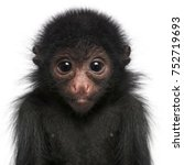 Stock photo red faced spider monkey ateles paniscus months old in front of white background 752719693