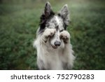 Stock photo cute dog the border collie funny faces 752790283