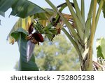 banana blossom in the garden or ... | Shutterstock . vector #752805238
