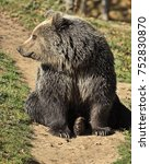 Small photo of Eurasian brown bear (Ursus arctos arctos) looking in the right direction