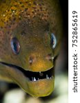 giant moray head closeup | Shutterstock . vector #752865619