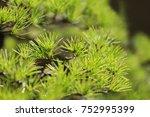Bonsai   Five Leaf Pine