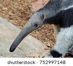 anteater walking close up | Shutterstock . vector #752997148