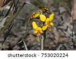 Small photo of Common Donkey Orchid (Diurus corymbosa). Eneabba, Western Australia, Australia