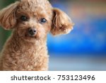 Toy Poodle Called Happy