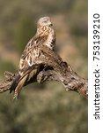 red kite. milvus milvus | Shutterstock . vector #753139210