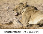 Large Lioness Drinking Water...
