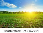 Green Beet Field And Blue Sky