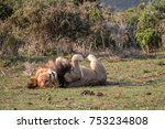 single male lion  panthera leo  ... | Shutterstock . vector #753234808