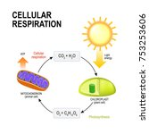 cellular respiration and... | Shutterstock .eps vector #753253606