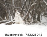 Small photo of Snowshoe hare (Lepus americanus) in the falling snow