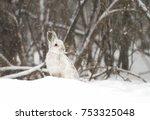 Stock photo snowshoe hare lepus americanus in the falling snow 753325048