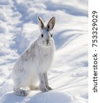 Stock photo snowshoe hare or varying hare lepus americanus posing in the winter snow in canada 753329029