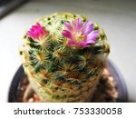 a beautiful cactus flower in a...   Shutterstock . vector #753330058