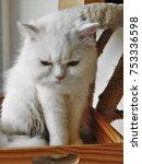 a white persian cat   Shutterstock . vector #753336598