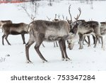 reindeer herd  in winter ... | Shutterstock . vector #753347284