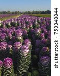 Small photo of Field with purple Ornamental cabbage (Brassica oleracea convar. acephala)