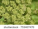 detail of a green plant with no ... | Shutterstock . vector #753407470
