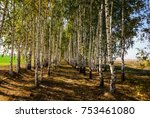 young birches are planted in a... | Shutterstock . vector #753461080