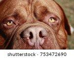 Huge Dogue De Bordeaux Or...