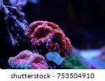Small photo of Red Acanthastrea LPS coral in aquarium tank