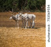 Small photo of wildlife, animal antelope addax close-up in nature