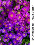 Small photo of Colorful bicolored carpet of flowers of the Rice Button or Bushy Aster (Aster dumosus) in pink and blue