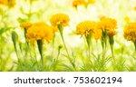 marigold flower in garden | Shutterstock . vector #753602194