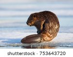 Beaver Castor Canadensis...