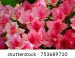 beautiful red azalea flowers in ... | Shutterstock . vector #753689710