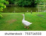 White Goose On A Green Lawn....