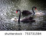 Black Swan With Cygnets At The...