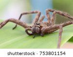 Small photo of Brown spider in the family Sparassidae on green leave surface. It is eating ants. Toxicity causes slight swelling. Get rid of the cockroaches. Close up and blur. (Heteropoda venatoria).