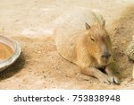 Small photo of Capybara crouch on ground.