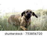 Dog Fila Brasileiro  Dog...