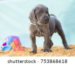 Stock photo great dane puppy purebred that looks ready to rumble on the sand 753868618