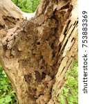 Small photo of Tree Tunk/Stump decaying from inside, Dead Tree