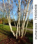Small photo of Chestnut tree (Aesculus hippocastanum) in November, interesting different trunks and the white bark.