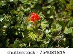 orange cloudberry in the tundra ... | Shutterstock . vector #754081819