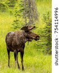 A Young Bull Moose Standing...