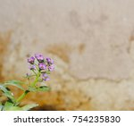 Petite Snow Purple Flowers Of...