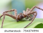 Small photo of Brown spider in the family Sparassidae on green leave surface . Toxicity causes slight swelling. Get rid of the cockroaches. Close up and blur. (Heteropoda venatoria).